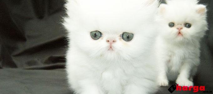 Anak Kucing Persia - (Sumber: pinterest.com)
