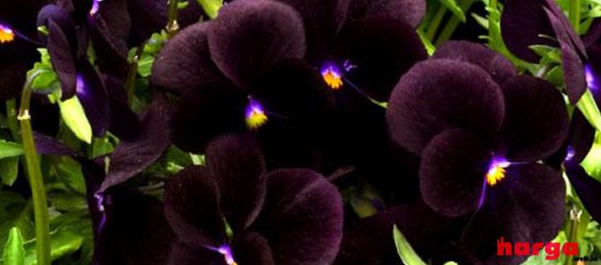 Bunga Anggrek Hitam - dbagus.com