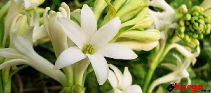 Bunga Sedap Malam - infokecantikan.co