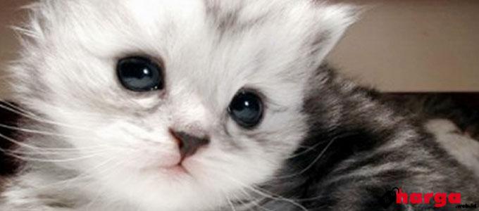 Kucing Anggora Anakan - (Sumber: cindarkucing.com)