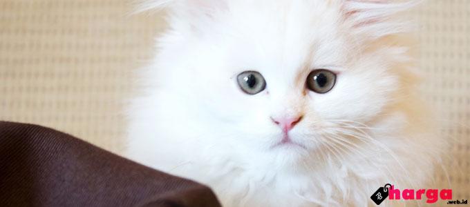 Kucing Anggora Putih - (Sumber: sejujurnya.com)