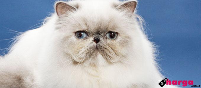 Kucing Persia - (Sumber: vetstreet.com)