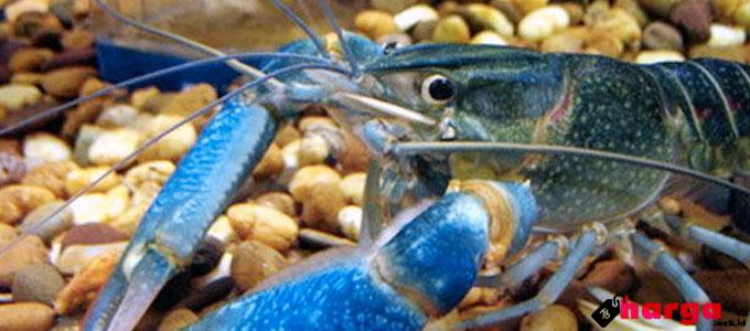 Lobster Air Tawar - (Sumber: carabudidayaternak.net)