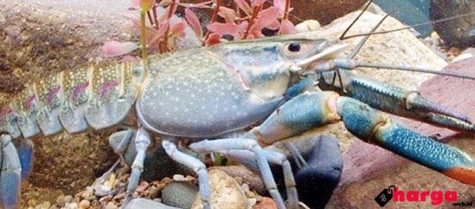 Lobster Air Tawar - (Sumber: jitunews.com)