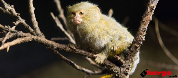 Pygmy Marmoset - ourbeautifulworldanduniverse.com