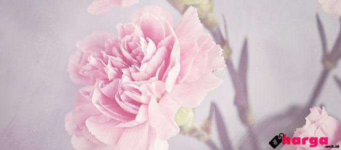 Bunga Anyelir Tampak Mekar Sempurna