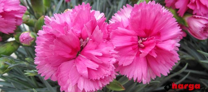 Bunga Anyelir - senandungparahyanganbr.blogspot.com