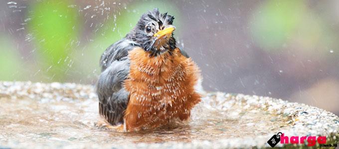 Burung Mandi - (Sumber: wbu.com)
