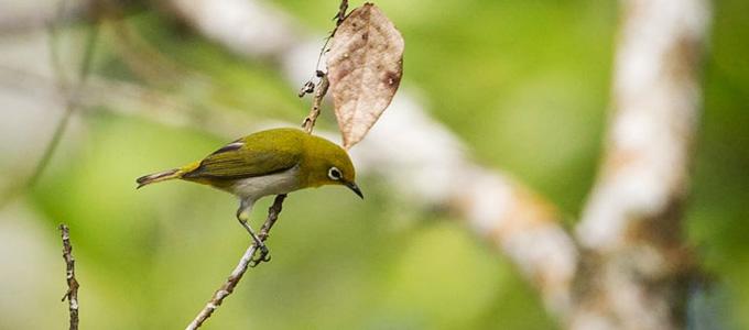 Jenis Dan Kisaran Harga Burung Pleci Daftar Harga Tarif