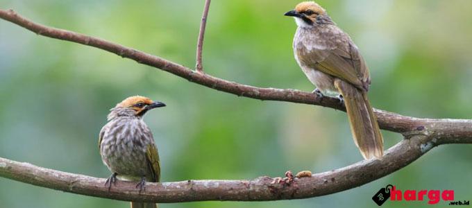 Burung cucakrowo - hargaburung.id