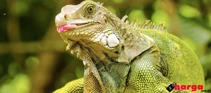 Green Iguana - (Sumber: costarica.com)