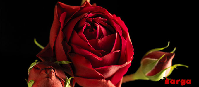 Harga Bunga Mawar Bouquet dan Setangkai  2f00bc116b