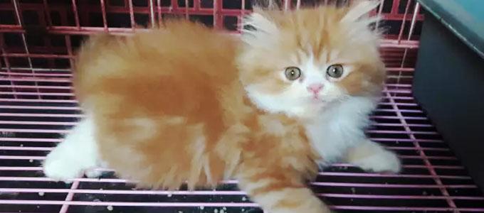 Unduh 89+  Gambar Kucing Flatnose Imut Gratis