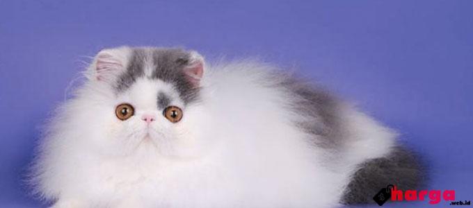 Info Terbaru Harga Jual Kucing Persia Saat Ini 2017