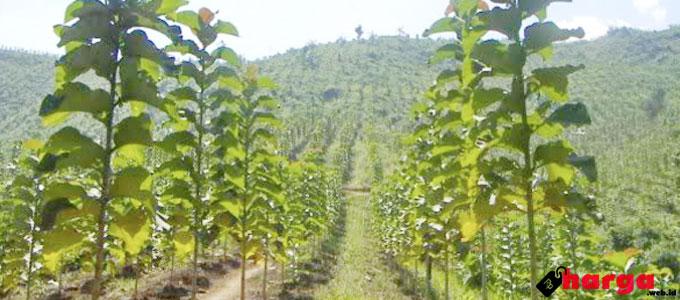 Pohon Jati Emas - (Sumber: irisindonesia.com)