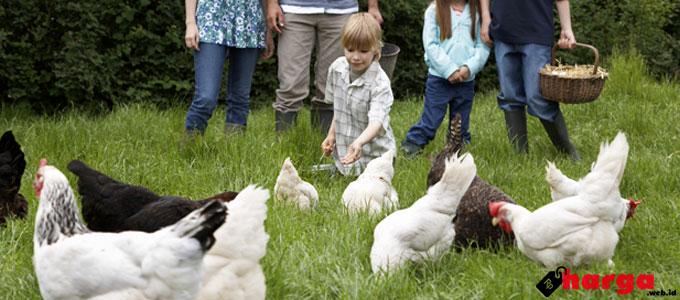 Update Harga Bibit DOC Day Old Chick Ayam Petelur