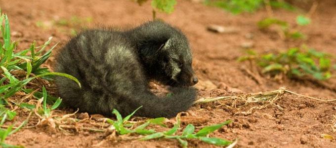 Ciri Dan Harga Baby Musang Pandan Daftar Harga Tarif