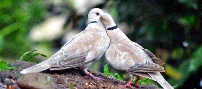Info Harga Burung Puter Dalam Berbagai Jenis Di Pasaran Daftar Harga Tarif