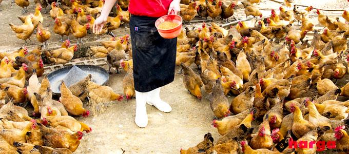 harga, daftar, konsentrat, ayam, petelur, pedaging, potong, 2017, 124, cargill, voor, voer, pur, pakan, hari ini, sekarang, berapa, jual, beli, dimana, pokphand, charoen, nutrisi, gizi, kelebihan, ternak