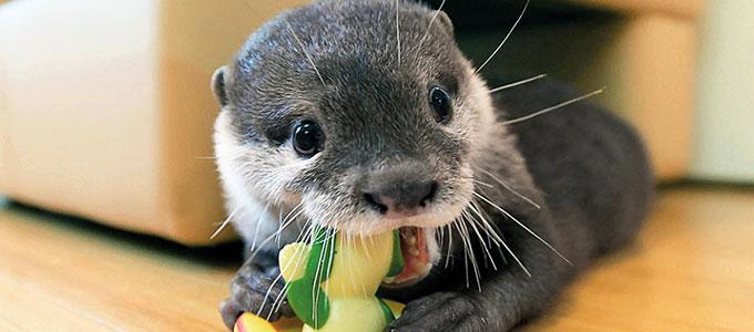 Karakteristik Cara Memelihara Dan Harga Otter Daftar Harga Tarif