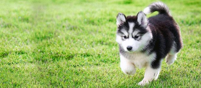 27+ Harga anjing serigala salju terbaru