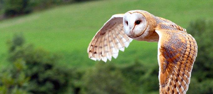Info Terbaru Harga Burung Hantu Tyto Alba Dan Cara Memeliharanya Daftar Harga Tarif